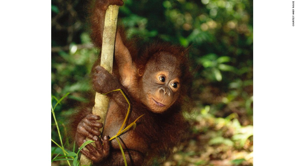 This little guy, plus sun bears and pygmy elephants, can be seen in Borneo. There are approximately 41,000 Bornean orangutans in the wild. Deforestation and illegal wildlife trade are their biggest threats.