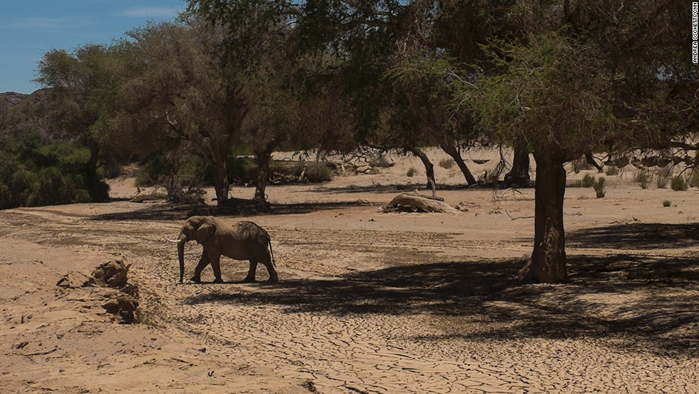 First encounter on the trail is a desert elephant, under the ana trees. Elephants love the fruit and shade the trees provide.