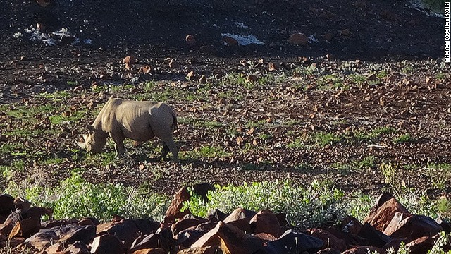 When tracking black rhino, it's important to view them from a respectful distance.