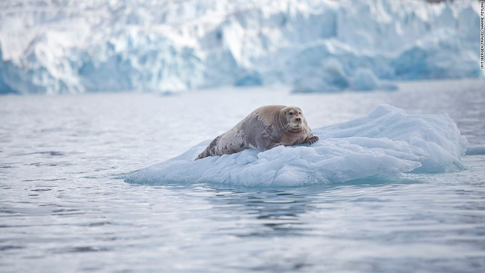 """Bearded seals """"don't really sound like animals, they sound like UFOs coming in to land -- they make this extraordinary noise that lasts about a minute,"""" says Trevor Cox. <a href=""""http://www.sonicwonders.org/bearded-seals-arctic/"""" target=""""_blank"""">Hear them here</a>."""