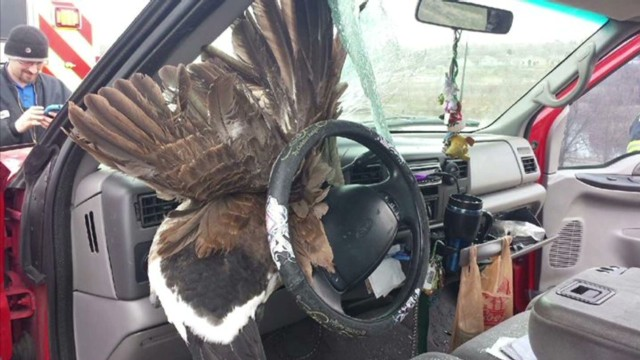 dnt goose shatters car window_00000622.jpg
