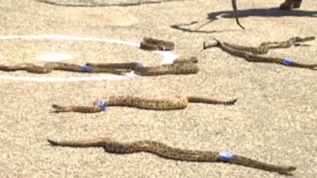 mxp alabama rattlesnake rodeo_00000620.jpg