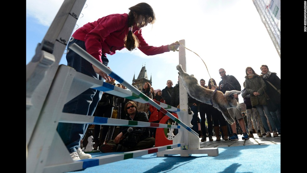 People watch a rabbit jump over a hurdle.