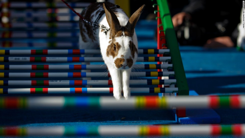 A rabbit jumps over an obstacle.