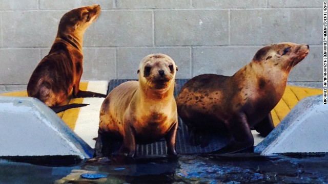 Hoppie, center, recovers with other sea lion pups at The Marine Mammal Center in Sausalito, California.