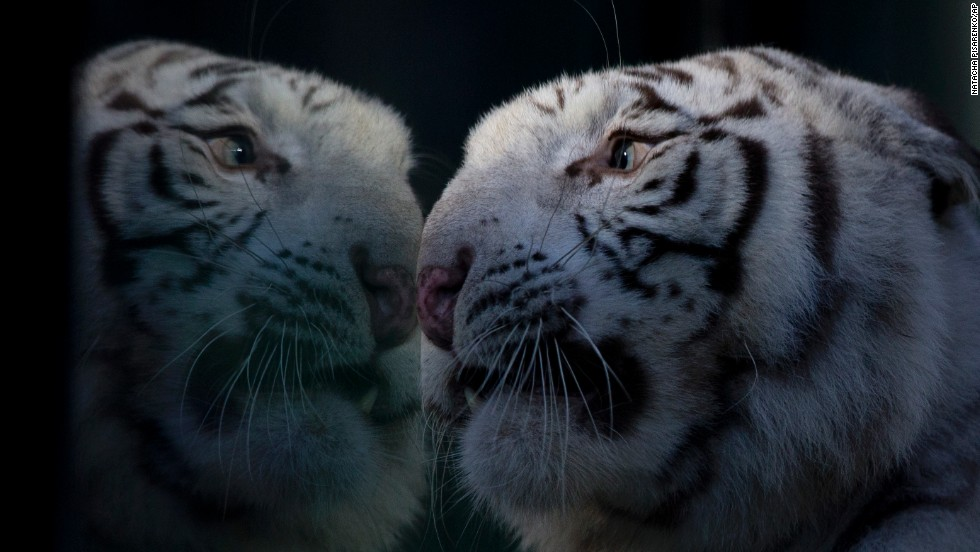 Cleo, a white Bengal tiger, looks through the glass of her enclosure at the Buenos Aires Zoo on Wednesday, April 16.