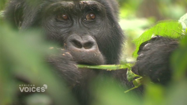 Ecotourism protects mountain gorillas