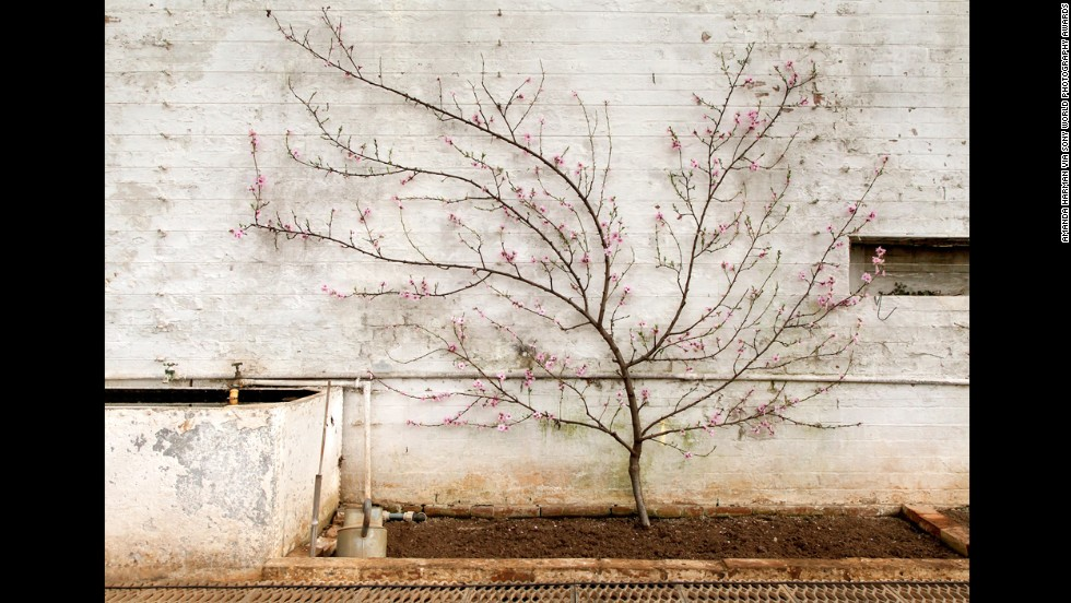 "British photographer <a href=""http://www.amandaharman.co.uk/"" target=""_blank"">Amanda Harman</a> won the Still Life category for her series of ""accidental still lives"" made around the glasshouses, potting sheds and scullery of a country house."