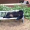 bear dumped at NCSU 0429