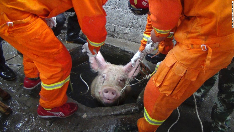 Firefighters rescue a pig that fell down a well Friday, April 25, at a farm in Huanghua, China. The pig weighed 300 kilograms (661 pounds).