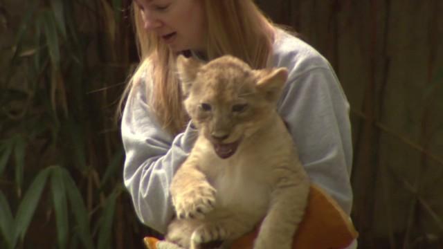 pkg lion cubs pass swim test_00013210.jpg