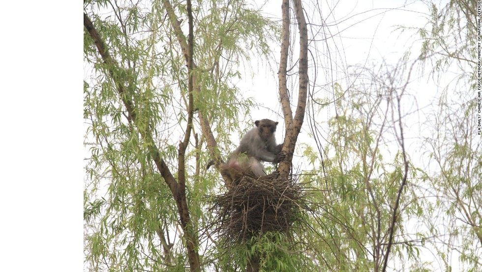 When the nests of birds are discovered on tree tops, the monkey army is deployed to remove them.