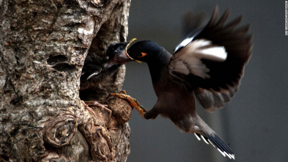 A common myna feeds her baby in a nest on a hot afternoon in Bhubaneswar, India, on Sunday, May 4. The common myna is native to Asia, and it is an important motif in Indian culture.
