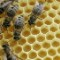 spivak honey bees