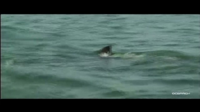 Great white shark heads to Florida coast