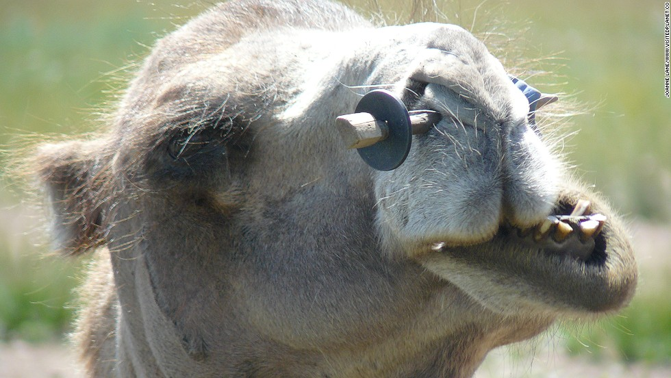 Nomadic herders across Africa have been milking their camels for centuries. However, milking a camel is rarely easy.