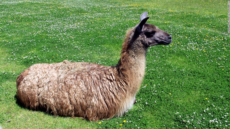 Life on the harsh Altiplano would be a struggle without the alpacas and llamas that give their dung for fuel, hide for leather, wool for clothing and milk for cheese.