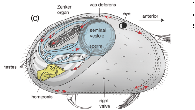 Even in diagram form, tiny shrimp are kinda cute. Look, it has a little eye!