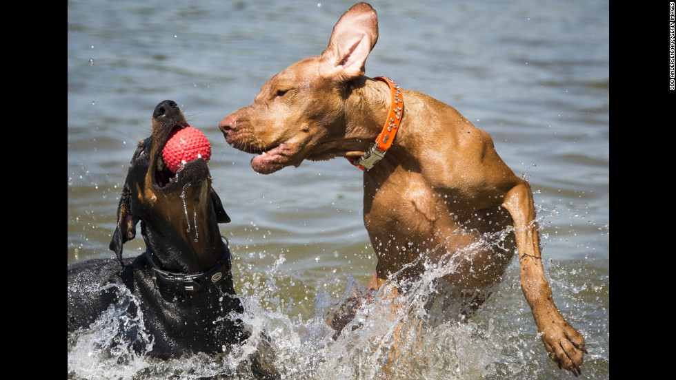 Two dogs play with a ball Thursday, May 22, at a lake in Berlin.