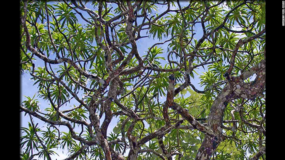 With its significant height, trunk diameter and multiple branches, it's hard to believe that the Dracaena kaweesakii went undiscovered until now. Spotted in Thailand, this relative of the Canary Island dragon tree is believed to be endangered.