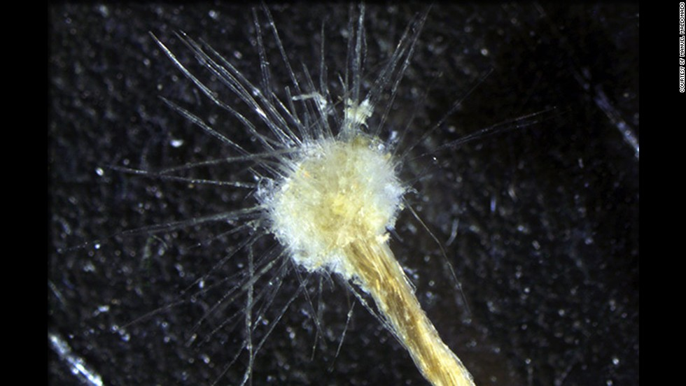 That's not a dandelion, it's a Spiculosiphon oceana -- one of the largest unicellular organisms in the Mediterranean Sea.