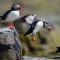 05 birds puffin