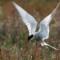 06 birds - tern