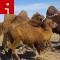 camels.irpt