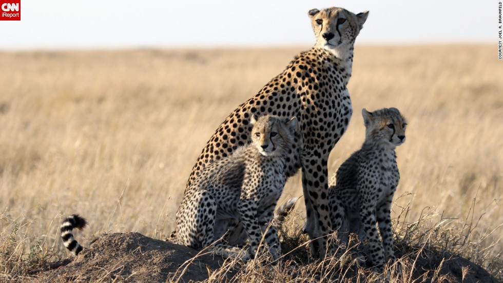 "This <a href=""http://ireport.cnn.com/docs/DOC-909942"">cheetah family</a> in Tanzania is practically posing for the camera."