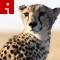 cheetahs.irpt