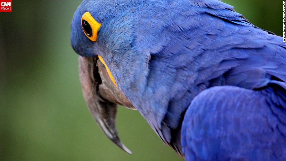 "This brilliant blue <a href=""http://ireport.cnn.com/docs/DOC-869204"">hyacinth macaw</a> lives at Marquesa Forest Park's aviary in San Juan, Puerto Rico."
