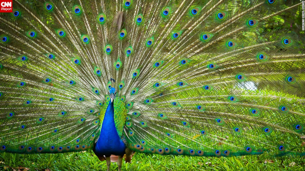 "An <a href=""http://ireport.cnn.com/docs/DOC-967907"">Indian peafowl</a>, commonly known as the peacock, faces the camera in Cotui, Dominican Republic."