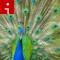 peacock.irpt