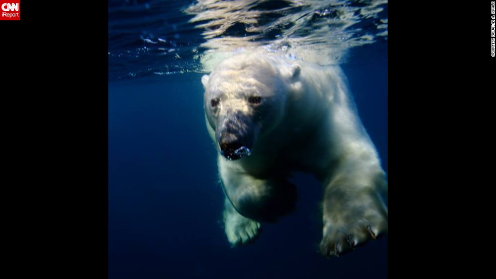 "A <a href=""http://ireport.cnn.com/docs/DOC-1022157"">polar bear</a> navigates the chilly waters of Repulse Bay, Canada."