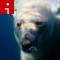 polar.bear.irpt