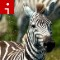 zebras.irpt