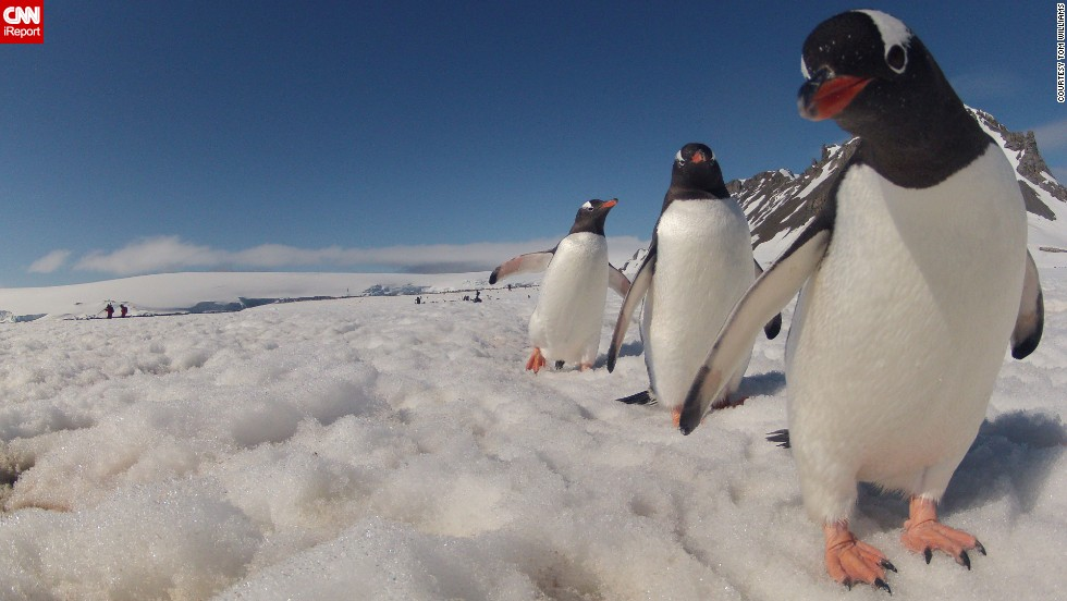 "A curious <a href=""http://ireport.cnn.com/docs/DOC-905295"">penguin</a> stares right into the camera in Antarctica."