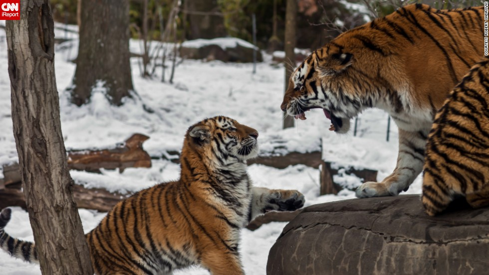 "A young <a href=""http://ireport.cnn.com/docs/DOC-1121353"">tiger</a> receives a stern talking-to in New York's Bronx Zoo."