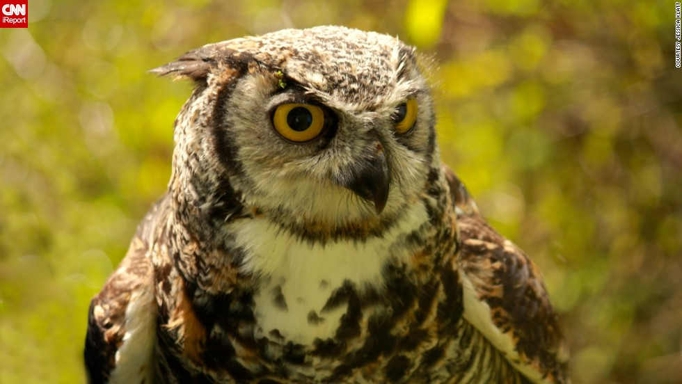 "This <a href=""http://ireport.cnn.com/docs/DOC-958259"">owl</a>, named Spock, lives at a Duncan, British Columbia, conservation center."