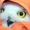 02 snowy owl release