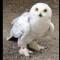 05 snowy owl release