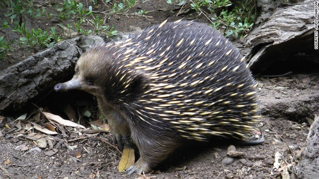 One of only two mammal species to lay eggs, the echidna is being helped by breeding programs in zoos.