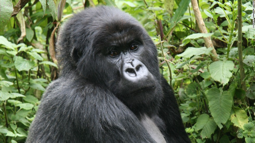The practice of hunting gorillas for meat has pushed the species to the brink of extinction. While the sale of gorilla meat is illegal, markets still sell them in the Republic of the Congo in western Africa.