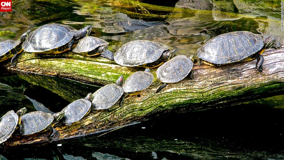 "<a href=""http://ireport.cnn.com/docs/DOC-1121720"">Turtles</a> in Washington, D.C., follow the leader to catch some sun."