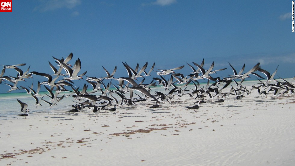 "<a href=""http://ireport.cnn.com/docs/DOC-986080"">Black skimmers</a> take off from a sandbar in Isla Holbox, Mexico. This image was taken from a kayak."