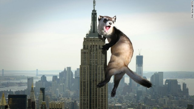 New York's great ferret debate