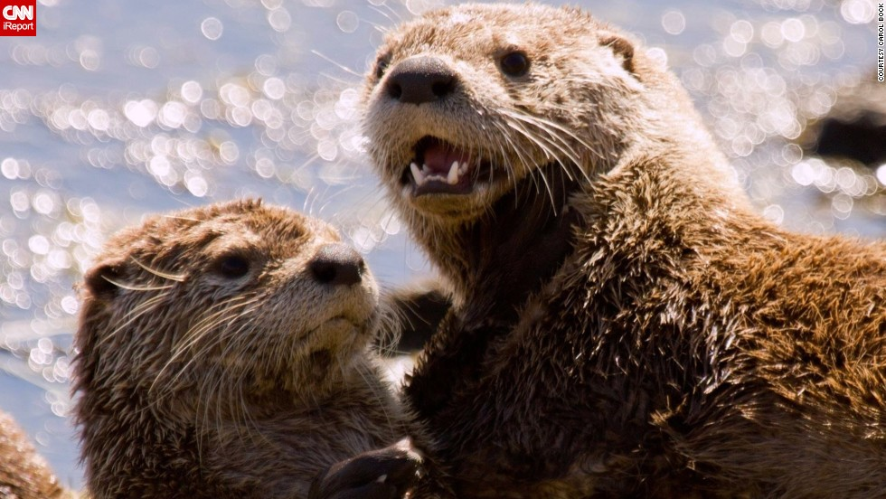"It's playtime for two <a href=""http://ireport.cnn.com/docs/DOC-1137809"">otters</a> along a river bank in Yellowstone National Park, Wyoming."