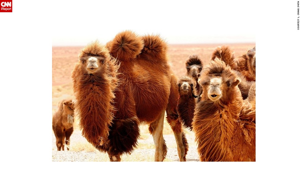 "These Mongolian <a href=""http://ireport.cnn.com/docs/DOC-655075"">camels</a> look perfectly happy to be having their picture taken. <br /><strong><br />Click the double arrows below to see more amazing wildlife photos.</strong>"