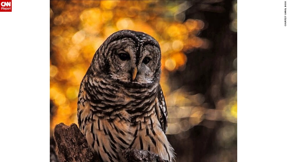 "This <a href=""http://ireport.cnn.com/docs/DOC-1065878"">barred owl</a> contrasts beautifully with the fall color behind him in Valley Park, Missouri."