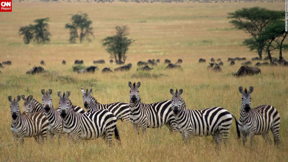 "These <a href=""http://ireport.cnn.com/docs/DOC-986561"">zebras</a> at Tanzania's Central Serengeti National Park seem as interested in the photographer as she was in them."